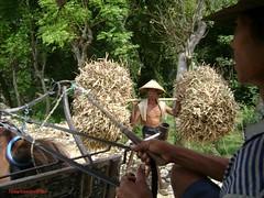 Cari pakan sapi (Kelana Nusantara) Tags: cari makan sapi