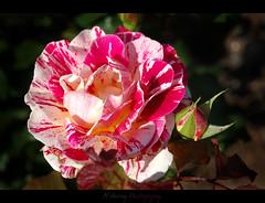 Candy Cane Rose, Mmmm (❁bluejay 2006❁) Tags: pink canada flower green nature fleur june rose rosebud legacy rosebushes beautifulbritishcolumbia fantasticflower nikond40 chilliwackbc damniwishidtakenthat whiteandredflowers bluejay2006 alittlebeauty dragondaggerphoto mamasbloomers boxofhappymemories magicunicornverybest