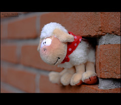 Lost sheep (mattverick) Tags: june toy sheep bokeh canondslr softtoy luckycharm 50mmf18 eos450d