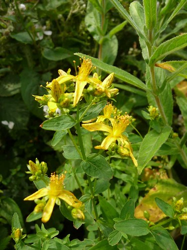 small-st.johns-wort-post-coed-hedgerow-27.6.09-no2