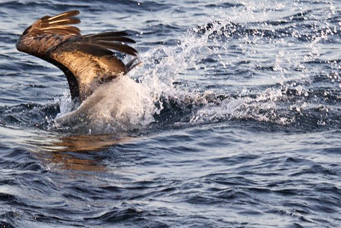 Brown Pelican (Pelecanus occidentalis) Diving For Food