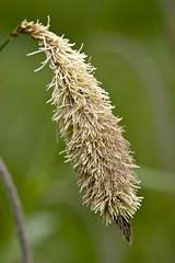 Pendulous Sedge (Carex pendula) (Steve_C) Tags: flower canon may wildflower hertfordshire 2010 sigma105mm cyperaceae carexpendula eos40d canoneos40d sigma105mmexdgf28macro hertsmiddlesexwildlifetrust penduloussedge ballswood hmwt