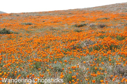 Antelope Valley California Poppy Reserve 1
