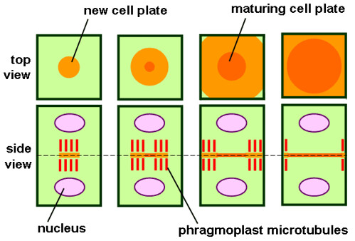 animal cell undergoing mitosis. of a plant cell undergoing
