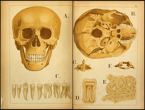 An atlas of Anatomy (FF Miller, 1879) j