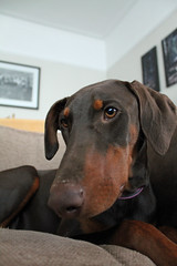 Minnie the Dobie (Minxy*) Tags: puppy chocolate tan doberman dobie chocolateandtan