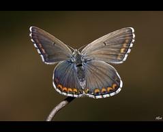 Polyommatus icarus (Female) (alfvet) Tags: macro nikon ngc butterflies natura autofocus d60 farfalle colorphotoaward buzznbugz veterinarifotografi wonderfulworldofmacro mygearandme mygearandmepremium mygearandmebronze mygearandmesilver mygearandmegold mygearandmeplatinum mygearandmediamond artistoftheyearlevel3 artistoftheyearlevel4 aboveandbeyondlevel1 flickrstruereflection1 flickrstruereflection2 flickrstruereflection3 flickrstruereflection4 flickrstruereflection5 flickrstruereflection6 flickrstruereflection7 aboveandbeyondlevel2 rememberthatmomentlevel4 rememberthatmomentlevel1 rememberthatmomentlevel2 rememberthatmomentlevel3 rememberthatmomentlevel9 rememberthatmomentlevel5 rememberthatmomentlevel6 rememberthatmomentlevel10