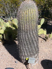 Barrel Cactus (alist) Tags: phoenix garden botanical desert alicerobison
