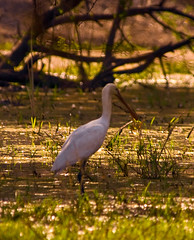 Eurasian Spoonbill In Keoladeo (aeschylus18917) Tags: india bird nature birds animal nikon wildlife feathers d200 stork rajasthan bharatpur spoonbill  80400mm platalealeucorodia eurasianspoonbill 80400mmf4556dvr keoladeo commonspoonbill whitespoonbill 80400mmf4556vr  keoladeosanctuary platalealeucocordia danielruyle aeschylus18917 danruyle druyle