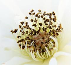 High Key Up Close (...-Wink-...) Tags: california white flower photoshop explore highkey thegimp fp topaz oxnard microlens dwcffhighkey