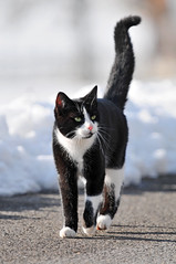 Walking his way (Tambako the Jaguar) Tags: road white snow black cute beautiful cat way walking fur schweiz switzerland furry nikon kat feline chat suisse bokeh walk tail zurich kitty fluffy greeneyes gato katze paws zrich gatto kedi gossau felid d300 impressedbeauty aplusphoto grt vosplusbellesphotos liftedtail herowinner