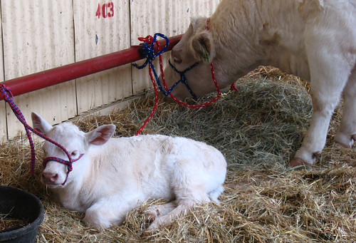 fwssr cow calf
