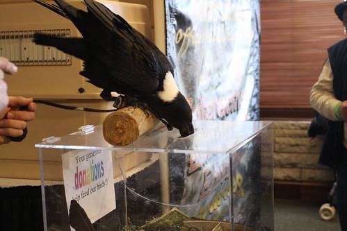 White-naped Raven
