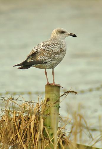 Immature Gull