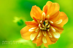 Golden Dahlia (anthonyserafin) Tags: flickrsbest