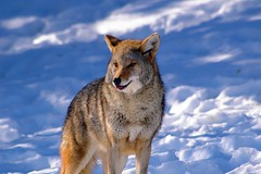 Coyote (judo_dad1953) Tags: coyote nature pentax ecomuseum aplusphoto