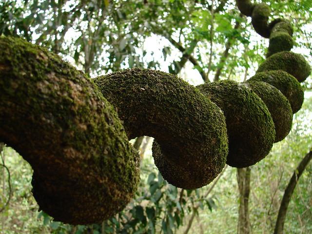 Una liana en bosque seco Chromatin Fiber. Colombia.