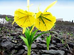 flor de amancaes