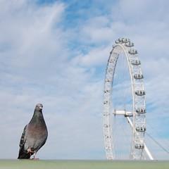 Pigeon London Eye