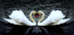 Happy Valentine's Day (KY-Photography) Tags: park uk red ontario canada bird love water photoshop scotland swan pond glow heart glasgow ky wildlife sony guelph cybershot ps valentine swans gb romantic khalid pointshoot allrightsreserved kal lanarkshire explored dscp12 knightswoord kyphotography