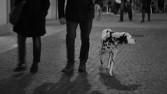 Quattro Cani per Strada. Il primo... (pierofix) Tags: city light bw dog white black cane canon walking eos 50mm soft dof dynamic bokeh f14 14 centro center bn stains moment 169 bianco nero luce sampietrini città udine dalmata macchie morbido guinzaglio camminando attimo sfuocatura 400d dinamicità