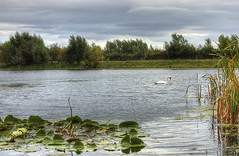 England: Bedfordshire - White Lilies (Tim Blessed) Tags: uk sky nature water clouds landscapes countryside scenery lakes swans lilies ponds singlerawtonemapped