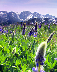 Cashmere Mountain Meadow (Jeff Pang) Tags: flowers mountains washington cashmere lupine dragontail