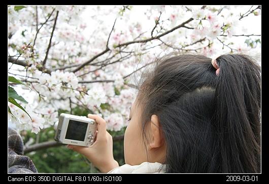 20090301Cherry_blossom_4