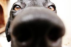 oi! (alineioavasso) Tags: dog black co labrador preto cachorro fucinho
