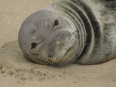 IMG_2352 (danesk) Tags: monk seal