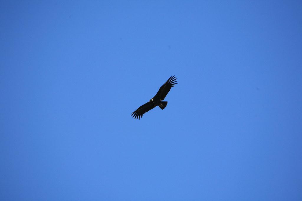 Condor IMG_1613