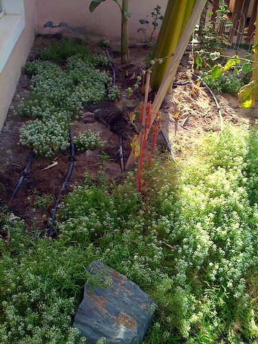 Friday: Alyssum and Banana patch