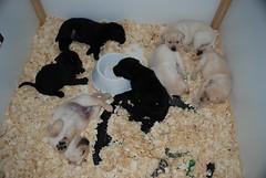 Bella's pups at 4 weeks