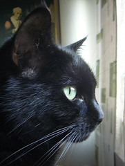 Black Murre (Ken-Zan) Tags: cats murre black katt lovelyworldofnature catnipaddicts kenzan ljunghav rip