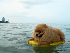 Poor Little Pom Pom / Pompom Dog Practice Swimming On Swimming Foam At Chaam Beach Thailand / ????????????????