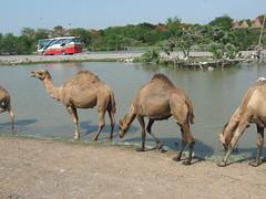 CAMELS (PINOY PHOTOGRAPHER) Tags: world trip travel thailand asia tour bangkok filipino camels pinoy