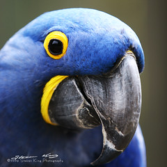 Hyacinth Macaw (Steven King Photography) Tags: park usa mountain color bird canon washington king steven macaw cougar hyacinth issaquah zoological cougarmountainzoo topshots mywinners anawesomeshot theunforgettablepictures