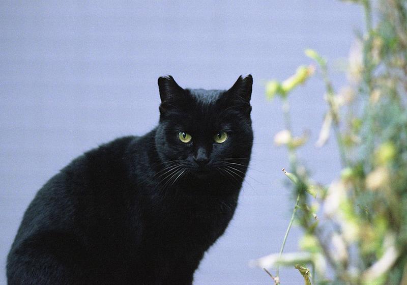 谷中の黒猫