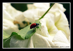 Beauty and the Beast (myrealeye photography) Tags: flowers nature insect natura fiori insetto flickraward