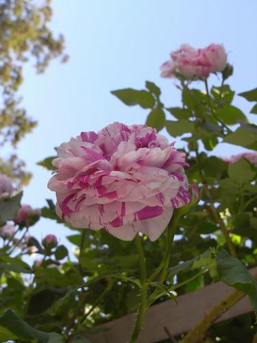 霊山寺「バラ庭園」@奈良市-10