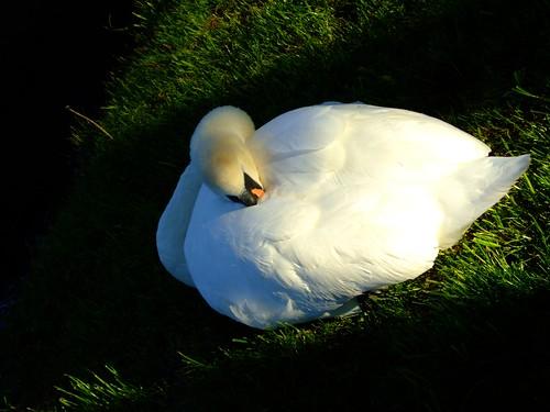 snoozing swan 2