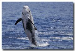 Grampus griseus (PedroMadruga) Tags: ocean sea wild mammal dolphin wildlife pico d200 azores aores cetaceo grampo cetacean acores openocean rissosdolphin pedromadruga southofpico moleiro golfinhoderisso suldopico