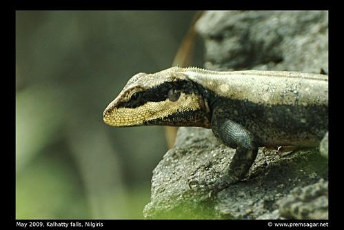 Lizard - ID pls