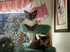 Silver & AG Girl on Ladder -- Final (Crystal Writer) Tags: pictures original cats tree cute window cat creativity diy kitten image crystal pics unique edited background creative picture kitty posed kittens pic images christian creation hammock kitties writer ladder write create capture pse kittycats kittycat photoshopelements writes 10millionphotos crystalwriter