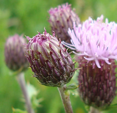 Scottish Thistles (abernmf1) Tags: pink flowers flower macro nature fleur petals flora purple blossom thistle bloom bud scottishthistle scottishnationalemblem abernmf1