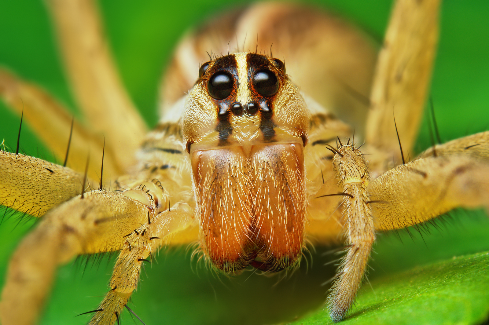 Spider close-up: Female Rabid Wolf Spider