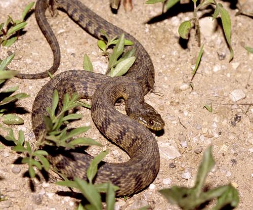 Diamondback Water Snake, Kansas - a photo on Flickriver
