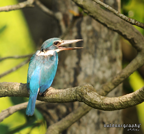 Forest Kingfisher #2