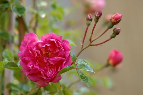 Rosa Alexander Giraud | Liaanroos - Rambling rose
