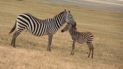 Zebra Love